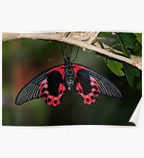 Scarlet Mormon Butterfly Poster