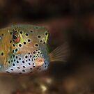 Box fish - Lembeh Straits  by Stephen Colquitt