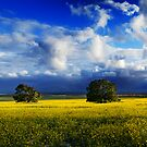 Canola Hill by Paul Pichugin