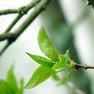 May Time Syringa Baby Leaves by hurmerinta