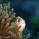 Skunk anemone fish - Lembeh Straits  by Stephen Colquitt