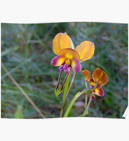 Donkey Orchid - Growing wild, Wongan Hills, Western Australia Poster