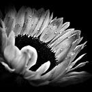Sunflower Droplets. by Aj Finan