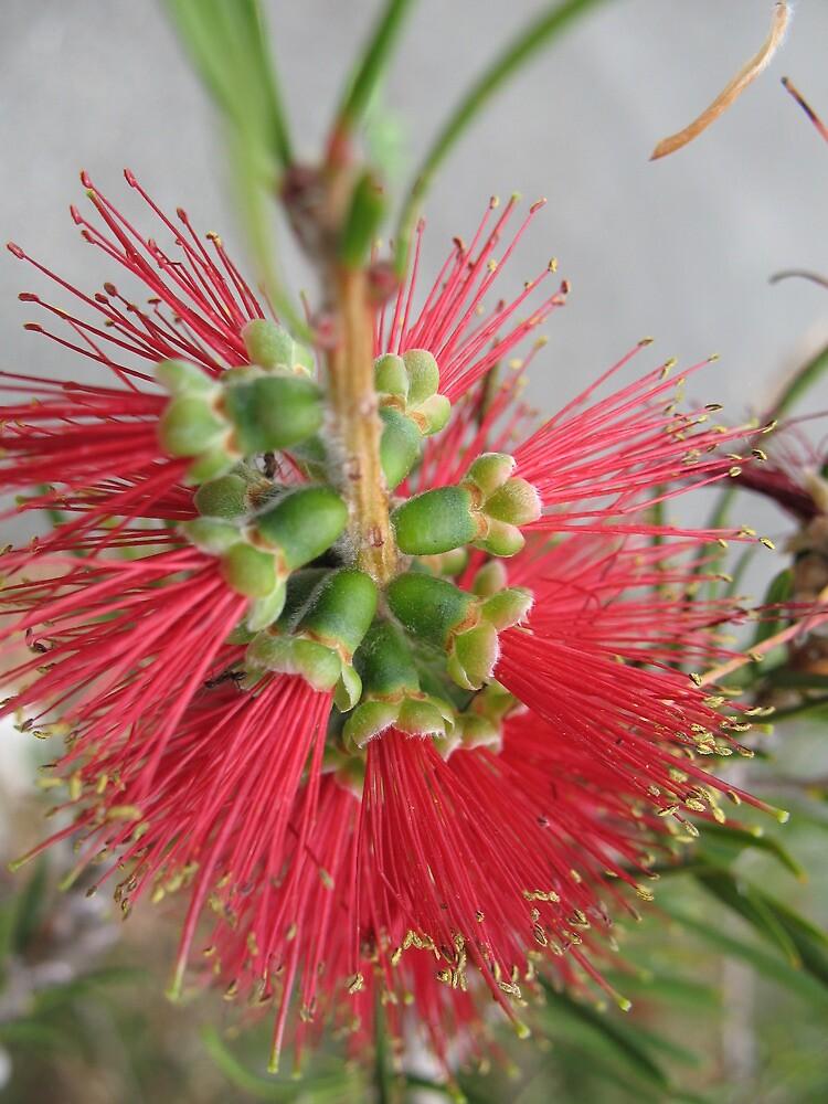 Red Bottlebrush Flower by melforrest