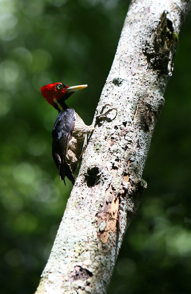 Red Headed Woodpecker by deserttrends