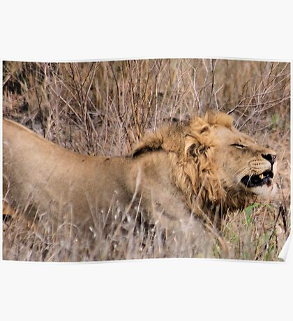 HMMM TIME TO MOVE ON - THE LION – Panthera leo Poster