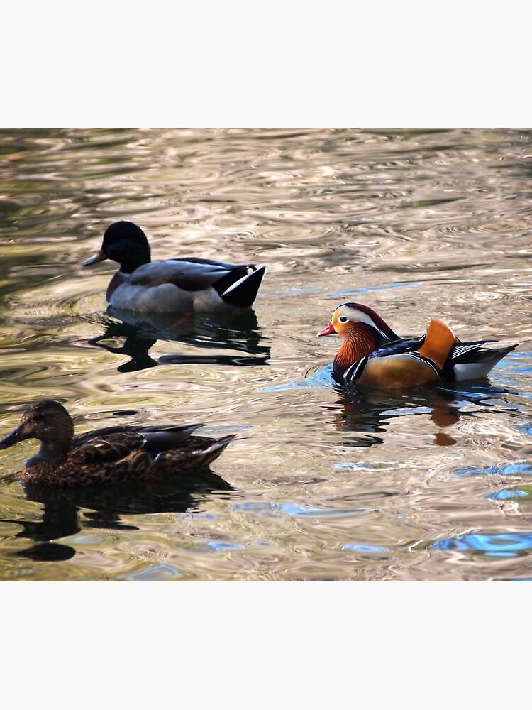 Mandarin and Mallards by douglasewelch
