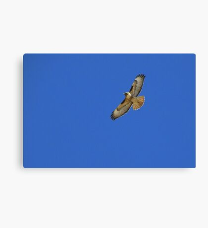 Red-tailed Hawk ~ Kiteing   Canvas Print