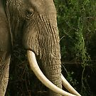 Tusk profile by Owed To Nature