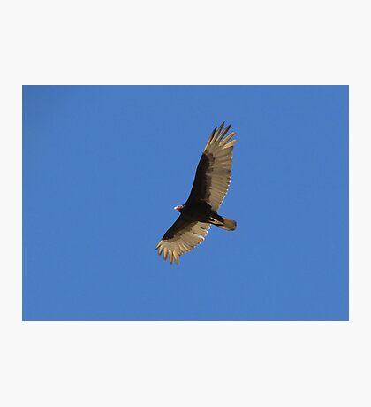 Turkey Vulture Photographic Print