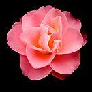 Luscious in Pink by Belinda Osgood