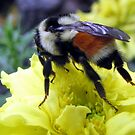 Bumblebee Kisses by Rose Gallik