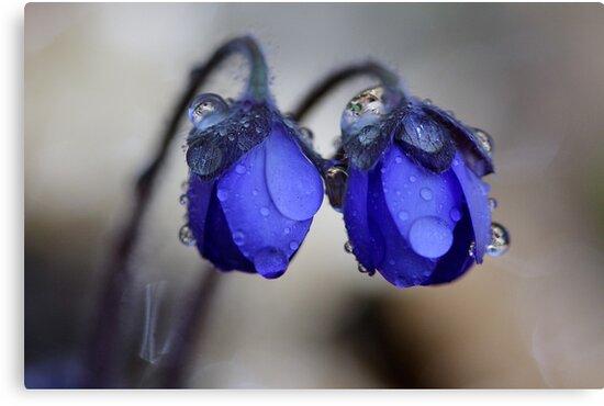 Hepatica nobilis after rain by Romeo Koitmäe