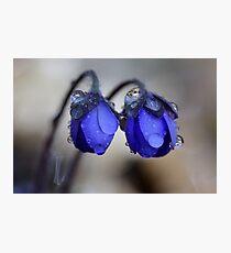 Hepatica nobilis after rain Photographic Print