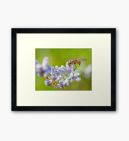 Hover fly on lavender - efef59a38f544cf79445844db6ea90e9 Framed Print