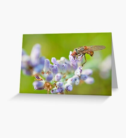 Hover fly on lavender - efef59a38f544cf79445844db6ea90e9 Greeting Card
