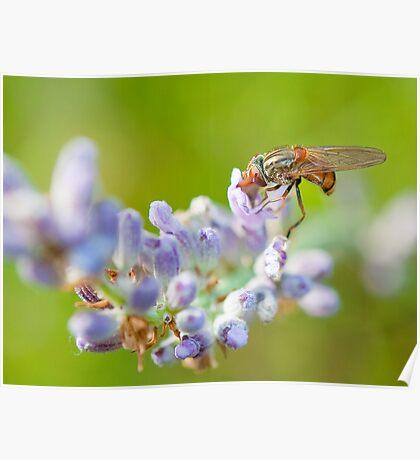 Hover fly on lavender - efef59a38f544cf79445844db6ea90e9 Poster