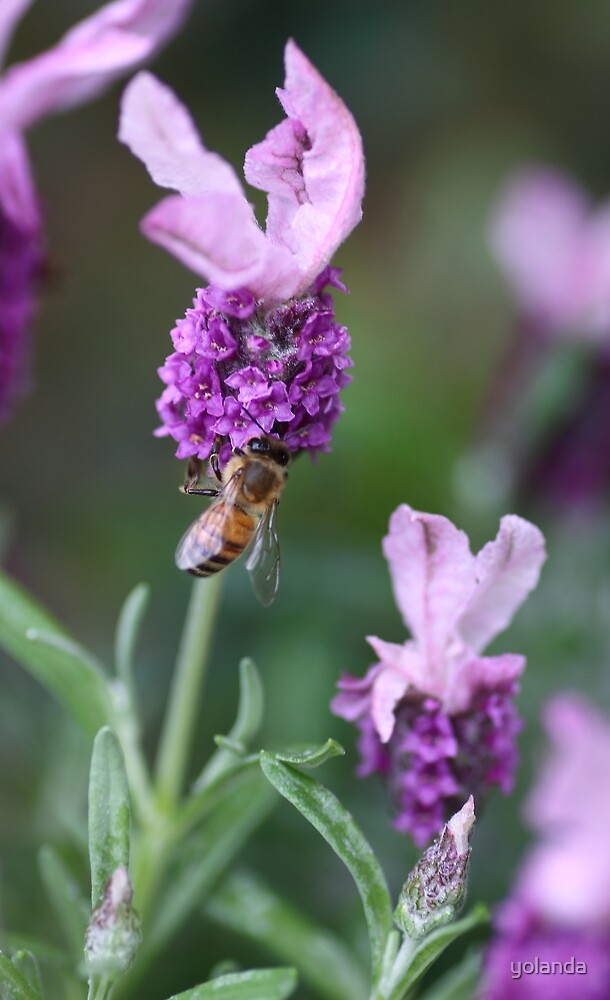 Bee Lavender by yolanda