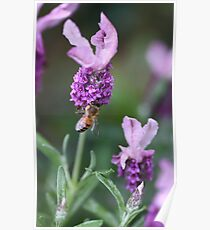 Bee Lavender Poster