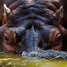 Thirsty Hippo by Lisa  Kenny