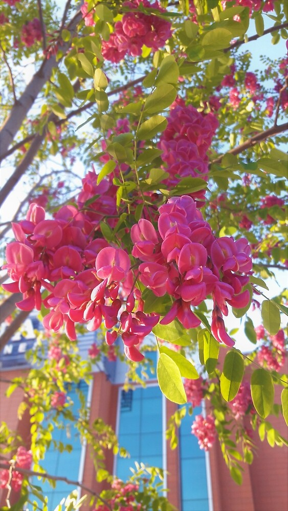 Pink Black Locust Flowers by tomeoftrovius