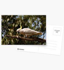 sulphur-crested cockatoo Postcards