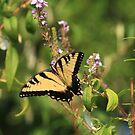 Swallowtail in the Garden by Lisa Putman