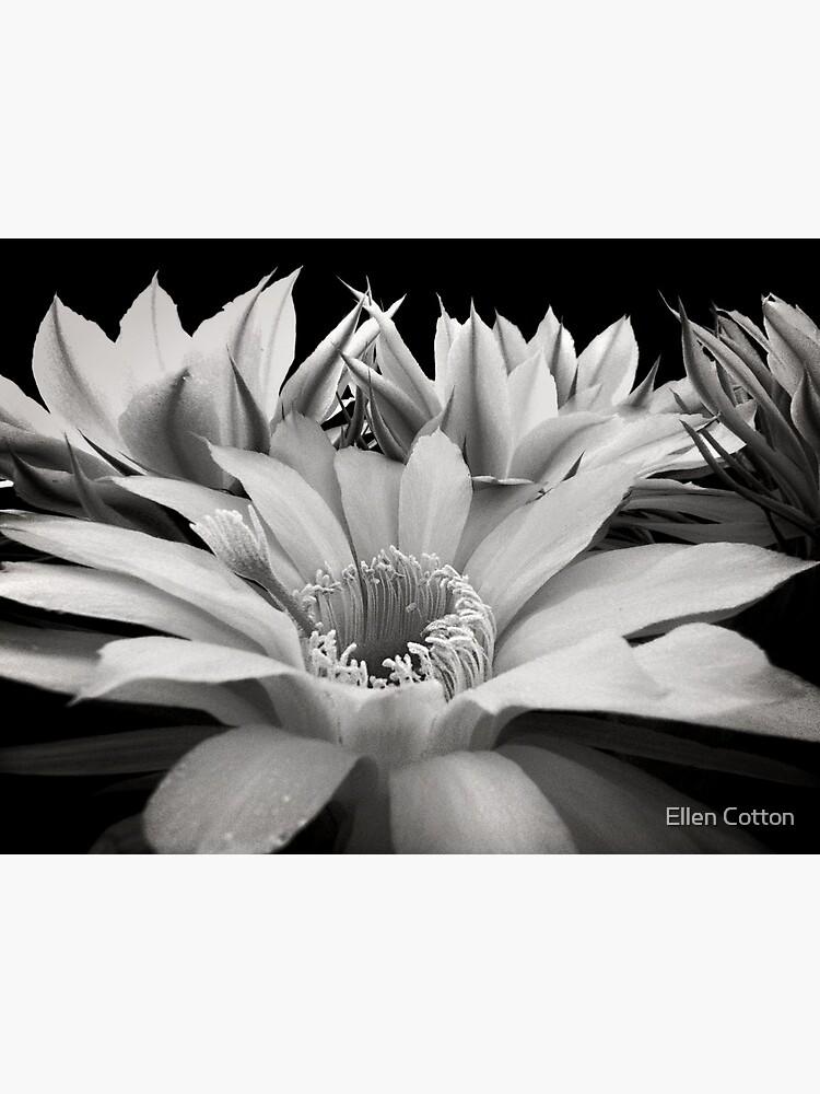 Cactus Flowers by ellcot