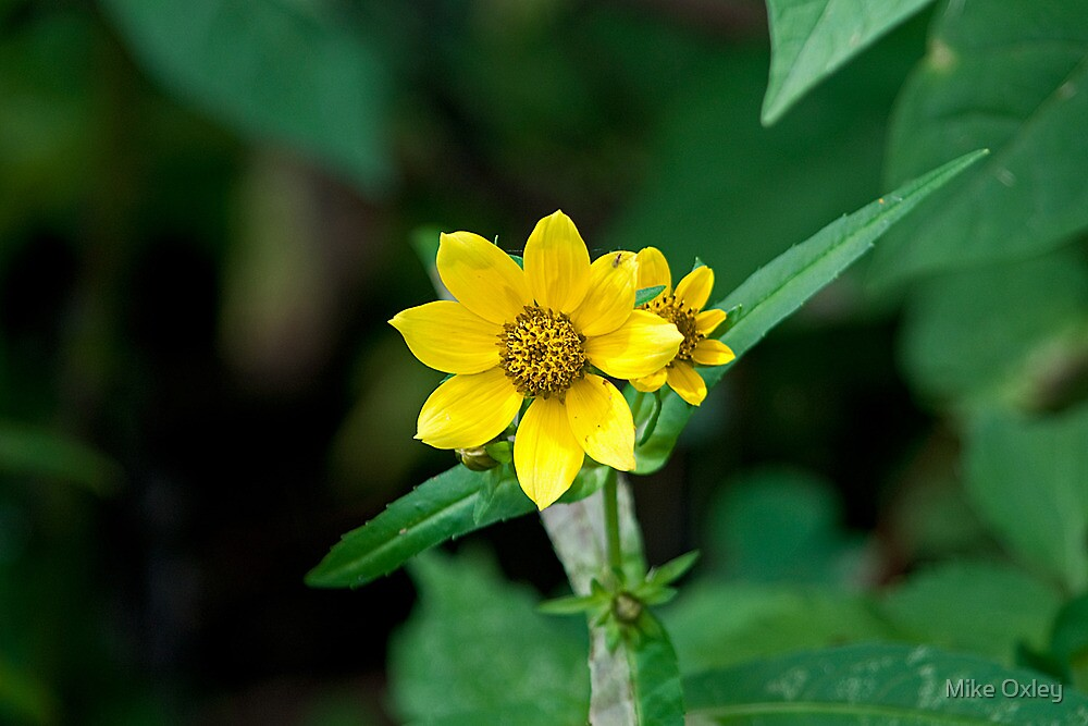 Bur-marigold by Mike Oxley