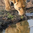Lioness drinking silhouetted in the water by Anthony Goldman