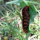 Pipevine Swallowtail caterpillar by Sherry Pundt