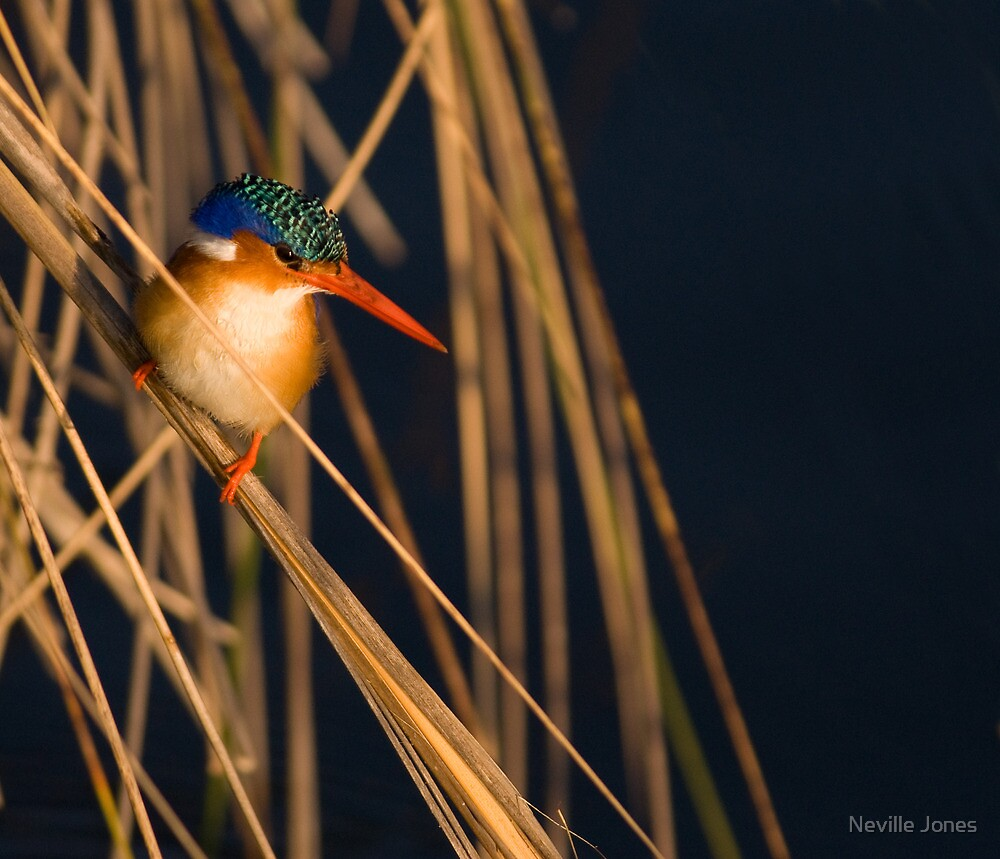 Malachite Kingfisher (Alcedo cristata), Khwai River, Botswana by Neville Jones