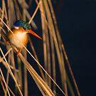 Malachite Kingfisher (Alcedo cristata), Khwai River, Botswana by Neville Jones
