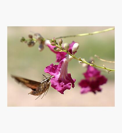 White-lined Sphinx Moth Photographic Print
