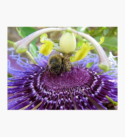 Bee~autiful Passion Flower Photographic Print
