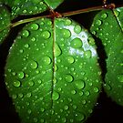 Leaves With Rain Drops by davesphotographics
