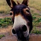 Curious Donkey - Yarrawonga by fionapine