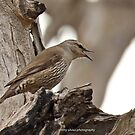 Brown Treecreeper (228) by Emmy Silvius