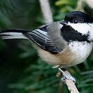 Chickadee: Among Feathery Evergreen Boughs by Wolf Read