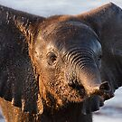 Elephant Calf by Scott Carr