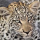 Young timbivati leopard (i know i`m cute,but you can`t pat me!) by Anthony Goldman