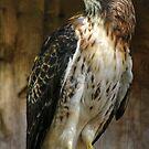 Red Tail Hawk by Marija