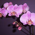 Pretty in Purple 3 by shalayne