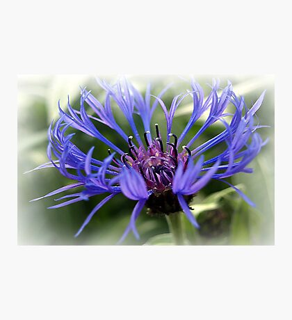 A Blue Cornflower. Photographic Print