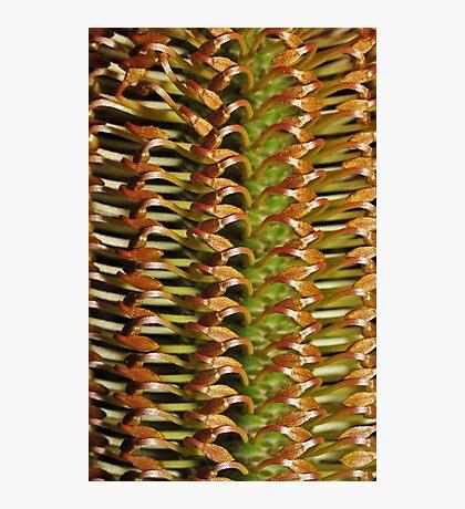 Banksia buds Photographic Print
