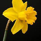 Daffodil by John Wallace