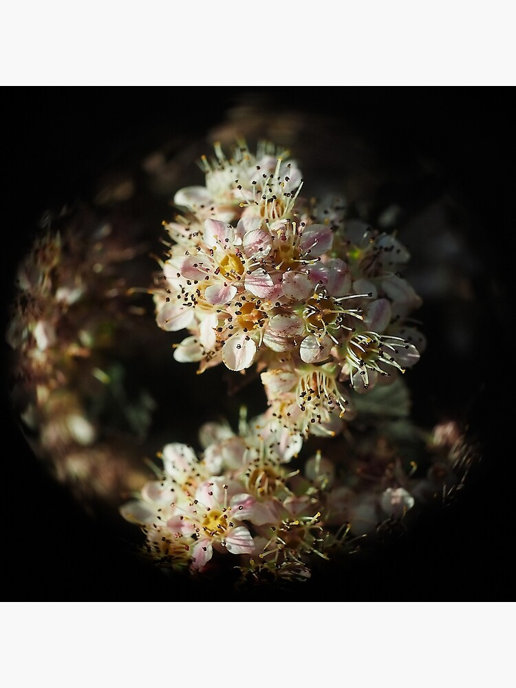 Macro Flower Globe of Pink and White by utilityimage