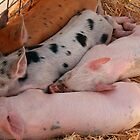 Piglet Siesta by Elaine Teague