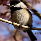Chickadee: Under a Warming Sun by Wolf Read