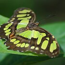 Malachite Butterfly (Siproeta stelenes) - Costa Rica by Jason Weigner